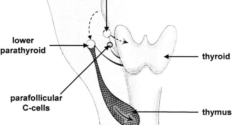 Paratiroid Bezler Neden Çok Çalışır?